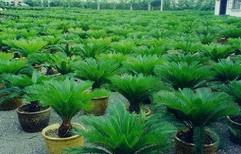Transplantar palmera jardiner a - Palmeras pequenas para jardin ...