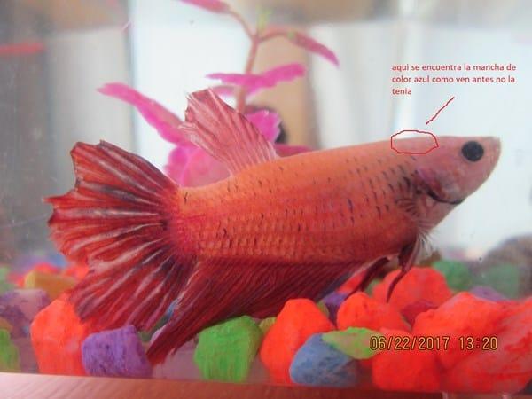 Malo mi pez betta tiene una mancha azul al lado de su for Mi pez nada de lado