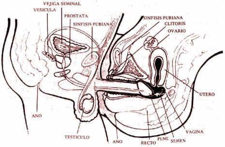 penetracion de pene a vajina